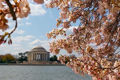 Cherry Blossom 14