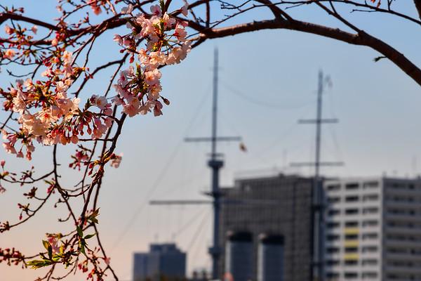 Cherry Blossom 22
