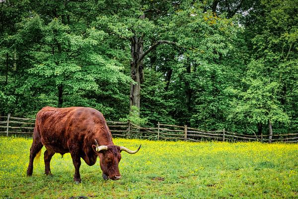 Grazing Bull