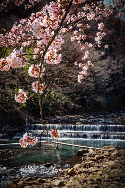 Cherry Blossom 23