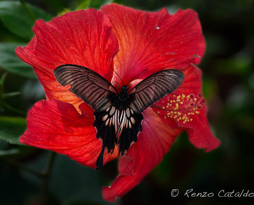 Charaxes-red flower