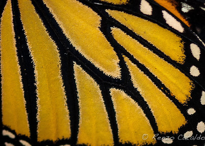 monarch-detail