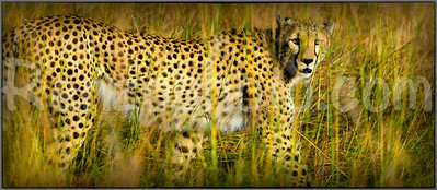 cheetahingrass