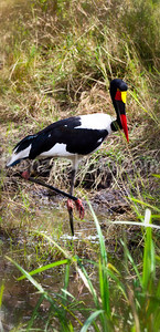 red-billed stork