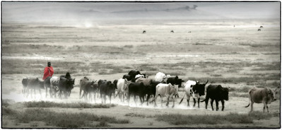 masaidustycattle