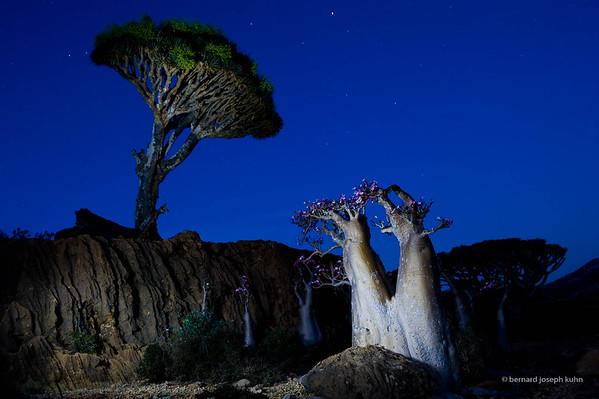 Dragonnier et Adenium • Dragon's Blood Tree and Adenium