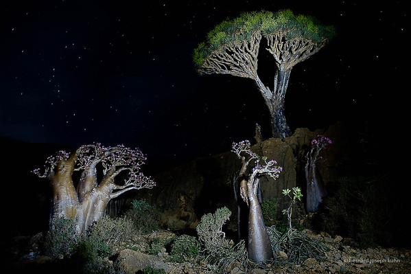 Dragonnier et Adenium • Dragon's Blood Tree and Adenium