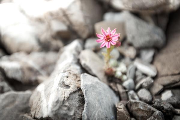 Joubarbe des montagnes (Sempervivum montanum).