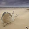 Foca gris (Halichoerus grypus) en playa de Donna Nook. Lincolnshire. UK
