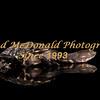 BRAD McDONALD HATCHLING  LONG NECK TURTLE 201607070002