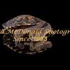 BRAD McDONALD HATCHLING  LONG NECK TURTLE 201607070007