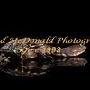 BRAD McDONALD HATCHLING  LONG NECK TURTLE 201607070002a