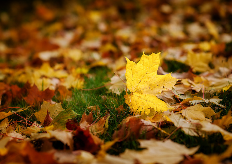 Single Yellow Maple Leaf