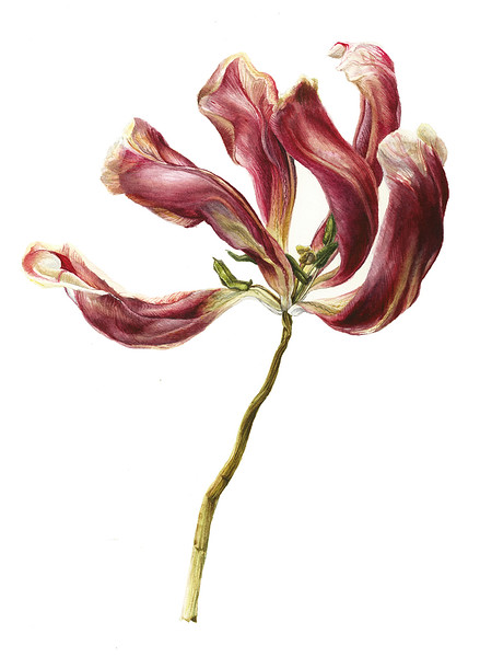 Wilted Tulip (2016)<br>watercolor<br>© Kelly McLeod