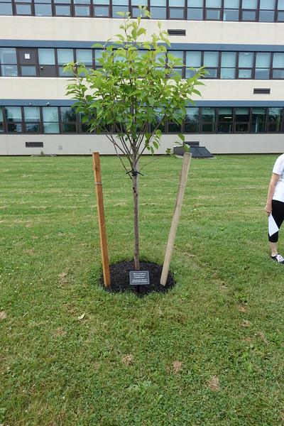 Kwanzan Memorial Tree