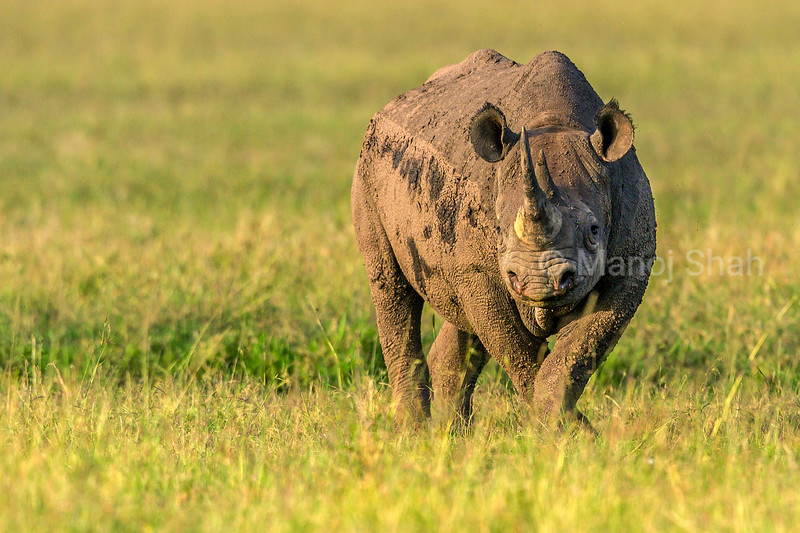 Black Rhinoceros alert in Masai Mara.