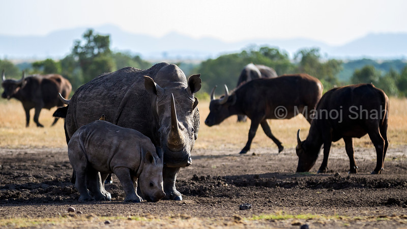 Black Rhino mother with baby at a salt  lick in Laikipia, surrounded by cape buffalos