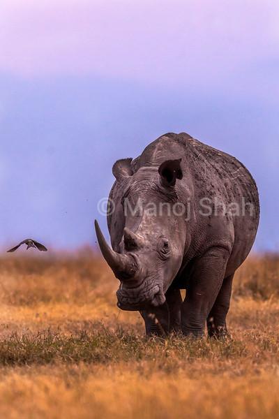 White rhino grazing in the laikipia savanna.