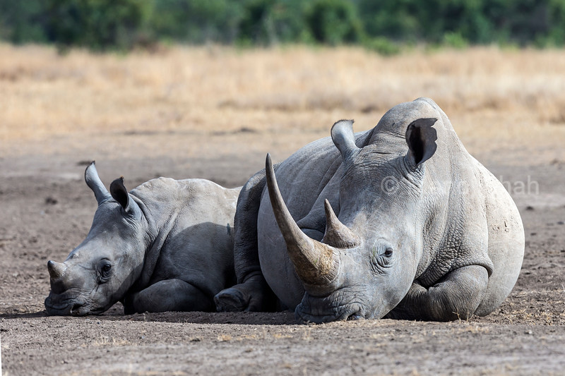 White rhino mother lying down besided her calf in Laikipia savanna, Kenya