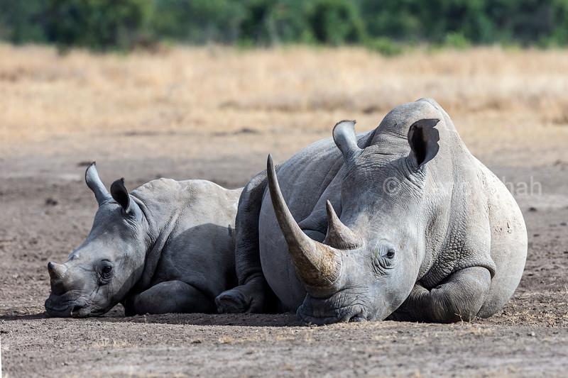 White rhino mother lying down besided her calf in Laikipia savanna, Kenya