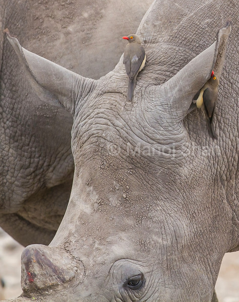 Red billed oxpeckers on a white rhino in Laikipia, Kenya