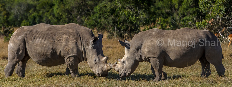 white rhinos touching horns at laikipia savanna. Start of a mating rital.