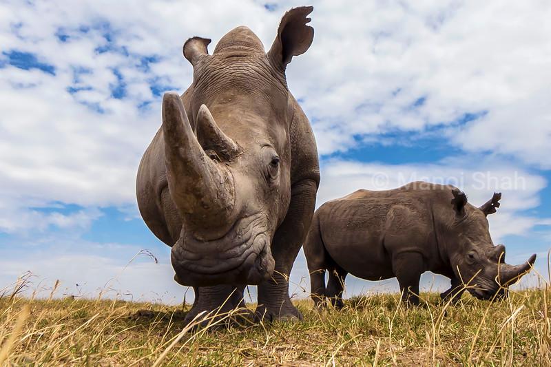 White rhinocerous grazing in Laikipia
