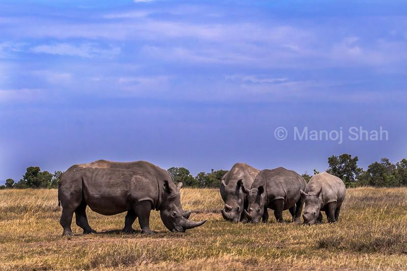 White rhinos  grazing in the laikipia savanna.