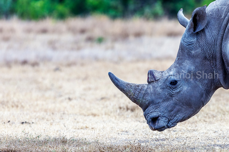 White Rhinoceros grazing in Laikipia savanna
