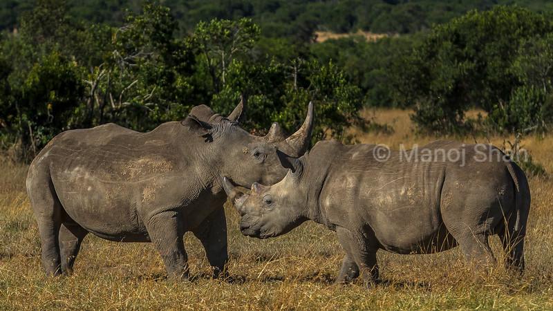 white rhinos touching horns at laikipia savanna. Start of a mating rital.