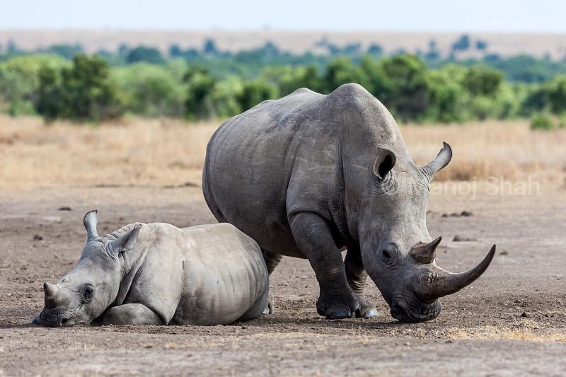 White rhino with baby  in Laikipis savanna, Kenya