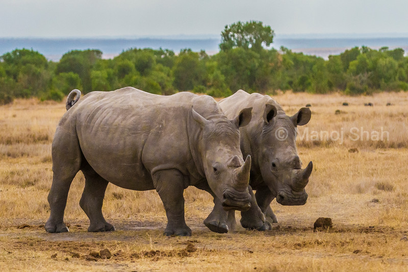 2 white Rhinocreous grazing in Laikipia savannah, \KENYA