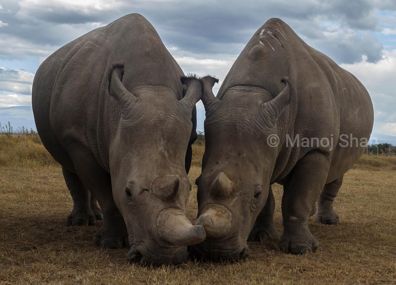 Northern whitee Rhinos