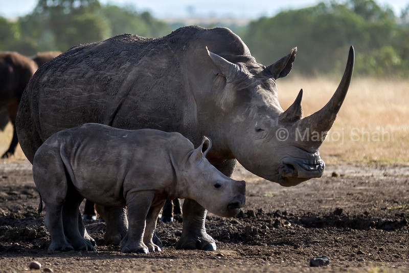 Black Rhino mother with baby at a salt  lick in Laikipia
