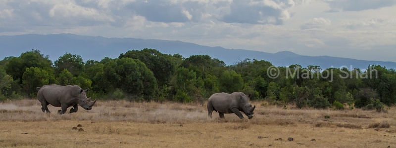A white rhino tresspassing into another's territory is being chased by the territorial white rhino.