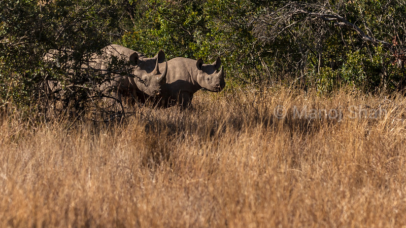 Black rhino mother and baby in Laikipia forest land.