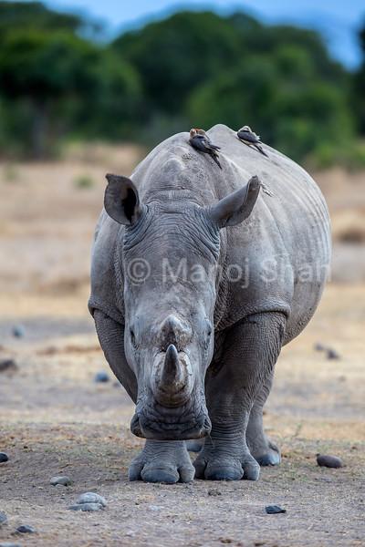 White rhino in Laikipis savanna, Kenya