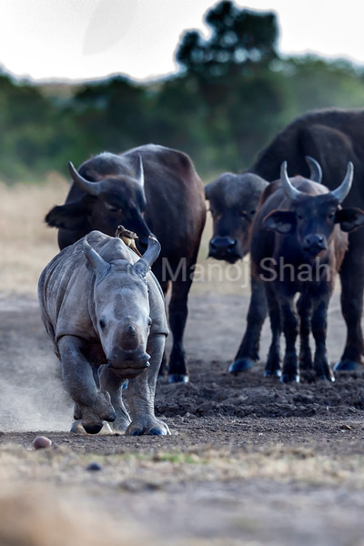 Black Rhino baby being chased by buffalos at a salt lik in Laikipia.