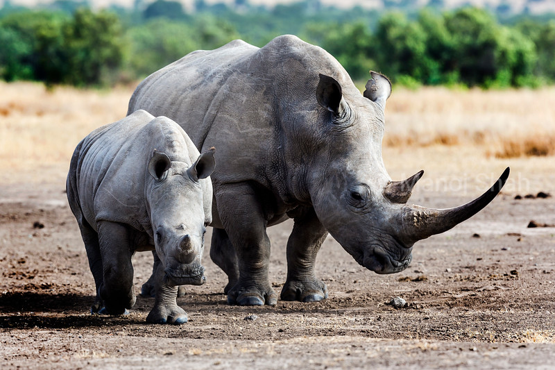 White rhino with baby  in Laikipis savanna, Kenya