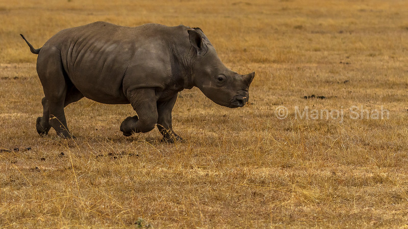 White Rhinoceros baby runnong for joy in Laikipia savanna.