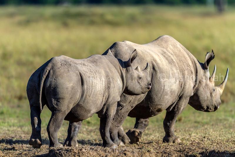 Black Rhino mother with baby in Masai Mara.