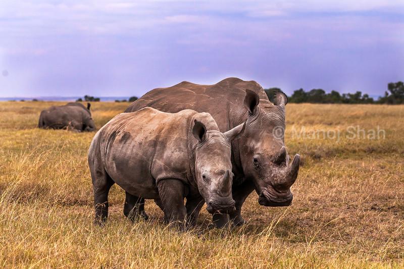 White rhino with young grazing in the laikipia savanna.