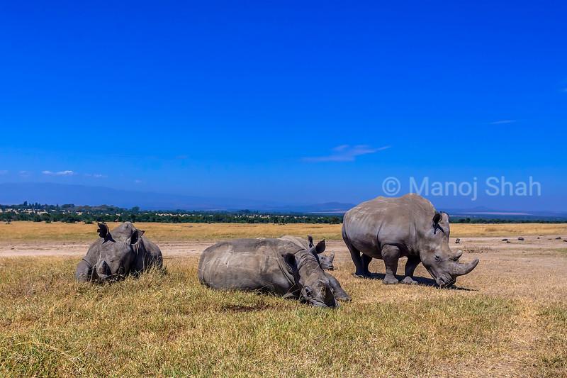 White rhinos  grazing and relaxing  in the laikipia savanna.