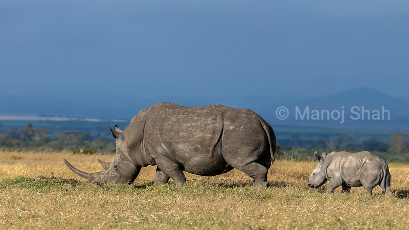 Black rhino mother with baby grazing in Ol Pejeta, laikipia.