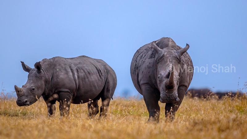 White rhino with young walking in the laikipia savanna.