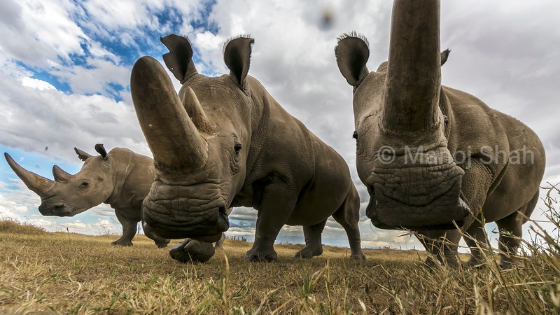 Two northern white rhino females accompanied (on left)  by southern white rhino