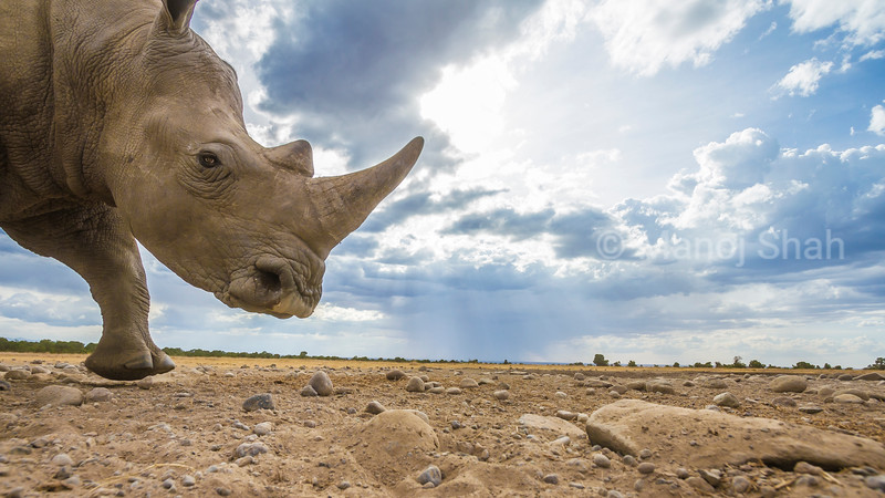 White rhino runs with haste in Laikipia, Kenya