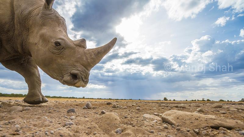 White rhino runs with haste in Laikipia, Kenya