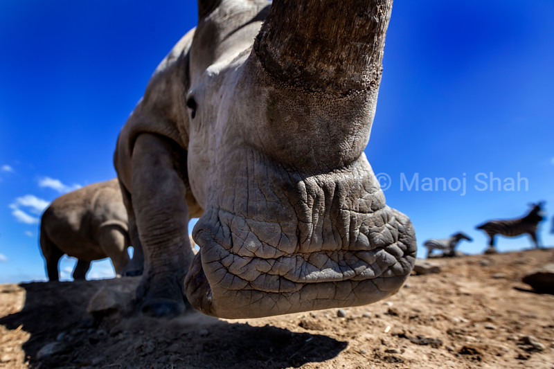 Closeup of wide mouth grazing of White rhinocerous.