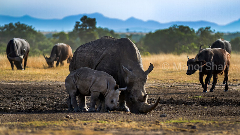 Black rhino mother with baby and with African Buffaloes at a salt lick  in Ol Pejeta, laikipia.